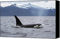 Animals And Earth Canvas Prints - Orca Orcinus Orca Surfacing Canvas Print by Konrad Wothe