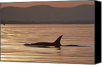 Whale Canvas Prints - Orca Orcinus Orca Surfacing, North Canvas Print by Gerry Ellis