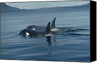 Whale Canvas Prints - Orca Pair Surfacing British Columbia Canvas Print by Flip Nicklin