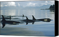 Whale Photo Canvas Prints - Orca Pod Johnstone Strait Canada Canvas Print by Flip Nicklin
