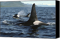 Whale Canvas Prints - Orca Pod Surfacing Johnstone Strait Canvas Print by Flip Nicklin