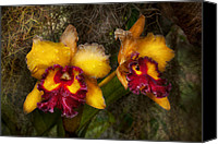 Cattleya Canvas Prints - Orchid - Cattleya - Dripping with passion  Canvas Print by Mike Savad