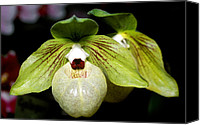 Orchidaceae Canvas Prints - Orchid 46 Canvas Print by Terry Elniski