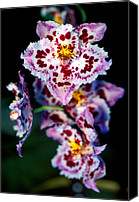 Orchidaceae Canvas Prints - Orchid 55 Canvas Print by Terry Elniski