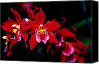 Orchidaceae Canvas Prints - Orchid 56 Canvas Print by Terry Elniski