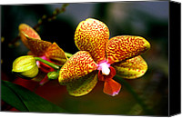 Orchidaceae Canvas Prints - Orchid 60 Canvas Print by Terry Elniski