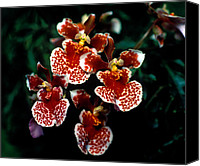 Orchidaceae Canvas Prints - Orchid 61 Canvas Print by Terry Elniski