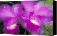 Orchidaceae Canvas Prints - Orchid Epidendrum Latilabre Close Canvas Print by Winfried Wisniewski