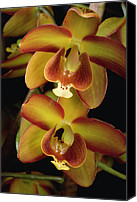 Orchidaceae Canvas Prints - Orchid Eriopsis Sceptrum, Sipapo Tepui Canvas Print by Mark Moffett