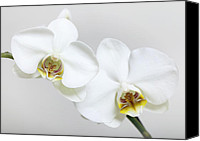 Flowers Pyrography Canvas Prints - Orchid Canvas Print by Falko Follert