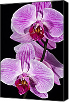 Orchidaceae Canvas Prints - Orchid Phalaenopsis Sp Flowering Canvas Print by Reyns Wim