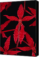 Orchidaceae Canvas Prints - Orchid Renanthera Bella An Endangered Canvas Print by Mark Moffett