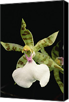 Orchidaceae Canvas Prints - Orchid, Sipapo Tepui, Venezuela Canvas Print by Mark Moffett