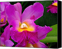 Cattleya Canvas Prints - Orchid Variations 1 Canvas Print by Rona Black