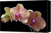 Orchidaceae Canvas Prints - Orchids Canvas Print by Garry Gay