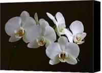 Luminous Canvas Prints - Orchids Canvas Print by Juergen Roth