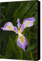 Dewy Canvas Prints - Oregon Iris Canvas Print by Greg Vaughn