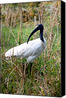 Wildlife Canvas Prints - Oriental White Ibis Canvas Print by Pravine Chester