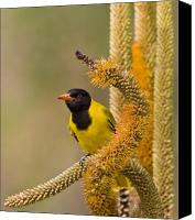 Oriole Canvas Prints - Oriole in Aloe Canvas Print by Basie Van Zyl