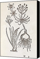 1566 Canvas Prints - Ornithogalum Plant, 16th Century Canvas Print by Middle Temple Library