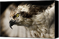 Sea Animals Canvas Prints - Osprey Canvas Print by Adam Romanowicz