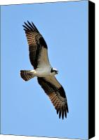 Osprey Canvas Prints - Osprey at One mile lake B.C Canvas Print by Pierre Leclerc