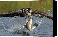 Water Canvas Prints - Osprey Catching Trout Canvas Print by Scott  Linstead