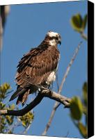 Osprey Canvas Prints - Osprey on Perch Canvas Print by Alan Lenk