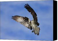 Jim Cumming Canvas Prints - Osprey Wingspan Canvas Print by Jim Cumming