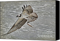 Osprey Canvas Prints - Osprey With Breakfast Canvas Print by Deborah Benoit