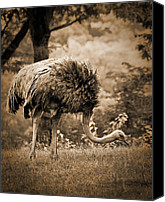 Arne J Hansen Canvas Prints - Ostrich Canvas Print by Arne Hansen