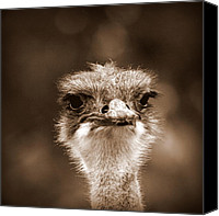 Australian Animal Canvas Prints - Ostrich in Sepia Canvas Print by Tam Graff