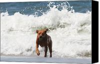 Water Retrieve Canvas Prints - Out of the Waves Canvas Print by Renae Frankz