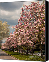 Magnolias Canvas Prints - Oxfords Magnolias Canvas Print by Ken Marsh