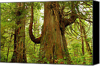 Cedar Canvas Prints - Pacific Rim Tree II Canvas Print by John  Bartosik