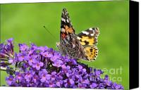 Insects Photo Canvas Prints - Painted lady butterfly on a buddleia Canvas Print by Andy Smy