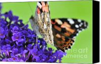 Insects Photo Canvas Prints - Painted lady feeding on a buddleia  Canvas Print by Andy Smy