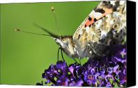 Insects Photo Canvas Prints - Painted Lady on Buddleia Close Up Canvas Print by Andy Smy