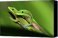 Spider Lily Canvas Prints - Pair Of Mating Green Geckos Canvas Print by Pete Orelup