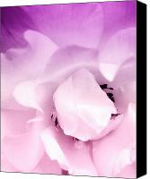 Pale Rose Canvas Prints - Pale Pink Rose Canvas Print by William Dey