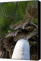 Cienfuegos Canvas Prints - Palm Canopy Canvas Print by Cheri Randolph