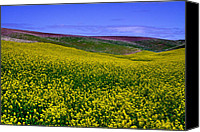Rapeseed Canvas Prints - Palouse Hills Canola Fields Canvas Print by David Patterson