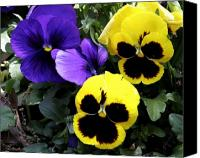 Garden Flowers Canvas Prints - Pansy Boys Canvas Print by Paul Anderson