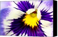 (c) 2010 Canvas Prints - Pansy Violets Canvas Print by Ryan Kelly