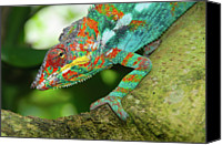 Chameleon Canvas Prints - Panther Chameleon Canvas Print by Dave Stamboulis Travel Photography