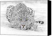 Pencil Drawing Canvas Prints - Panthera Pardus - Leopard Canvas Print by Steven Paul Carlson