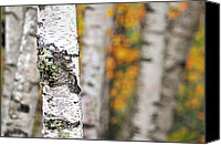 Vermont Autumn Foliage Canvas Prints - Paper Birch - An autumnal abstract Canvas Print by Thomas Schoeller