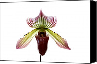 Singular Canvas Prints - Paphiopedilum Lawrenceanum Canvas Print by Marilyn Hunt