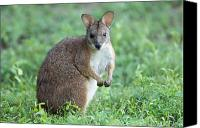 Wallaby Canvas Prints - Parma Wallaby Macropus Parma Canvas Print by Joel Sartore