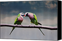 Kissing Canvas Prints - Parrots Canvas Print by Ngkokkeong Photography